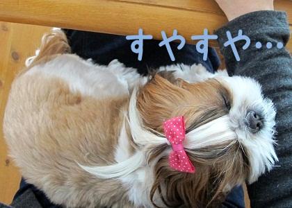 ママの膝で眠るシーズー犬まろん1