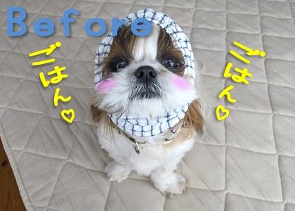 シーズー犬まろんBefore