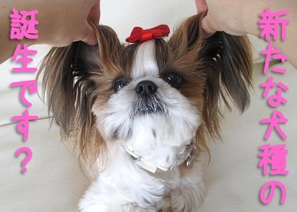 _シーズー犬まろんの新犬種誕生
