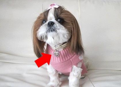 ピンクづくしのシーズー犬まろん