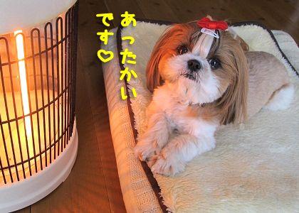 ストーブで暖まるシーズー犬まろん