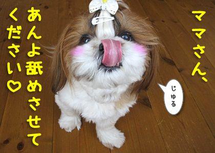 舌なめずりをするシーズー犬まろん