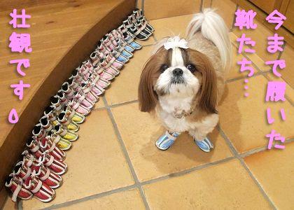 シーズー犬まろんの靴がいっぱい☆