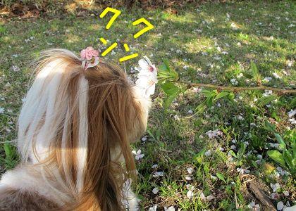 桜の香りを嗅ぐシーズー犬まろん