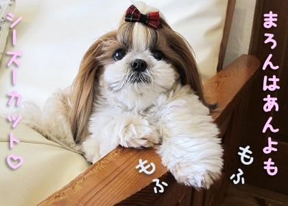 シーズーカットのシーズー犬まろん