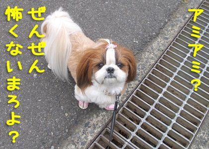 _横断溝も怖くないシーズー犬まろん