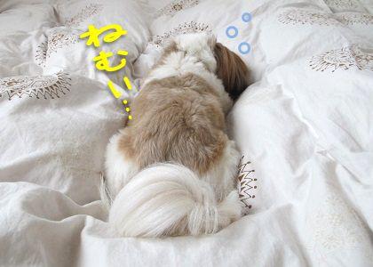 寝坊助なシーズー犬まろん
