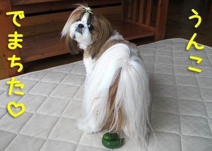 きゅうりとポーズをとるシーズー犬まろん