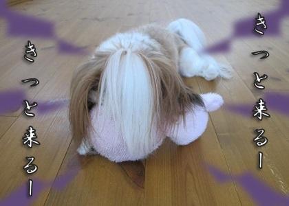 貞子と化すシーズー犬まろん1