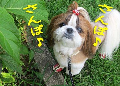 今日も元気なシーズー犬まろん