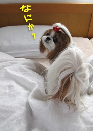 電気毛布を掘るシーズー犬まろん