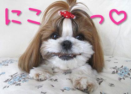 シーズー犬まろんの笑顔