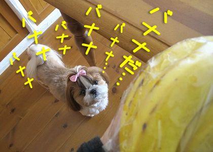 バナナをガン見するシーズー犬まろん