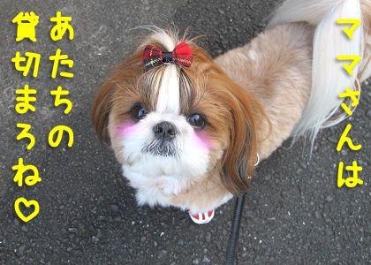 うれしそうなシーズー犬まろん