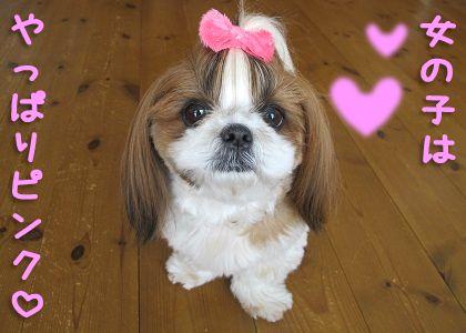 ピンクシーズー犬まろん