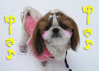 雪好きなシーズー犬まろん