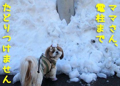 雪塊前でうろうろするシーズー犬まろん