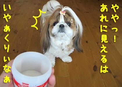 耳掃除にどきどきのシーズー犬まろん