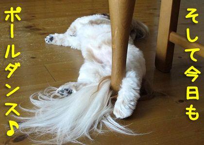 ポールダンスを踊るシーズー犬まろん