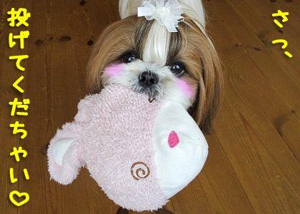 おもちゃに夢中のシーズー犬まろん