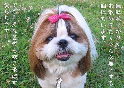 シーズー犬代表まろん