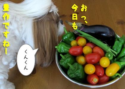 家庭菜園で採れた野菜の匂いを嗅ぐシーズー犬まろん