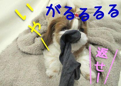 本気で靴下に食らいつくシーズー犬まろん