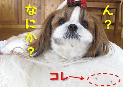 シーズー犬まろん with ひっつき虫