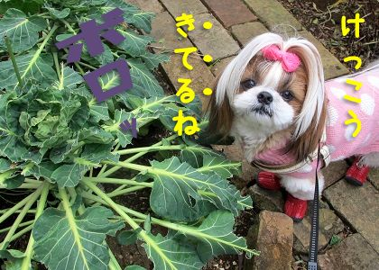 芽キャベツに同情するシーズー犬まろん