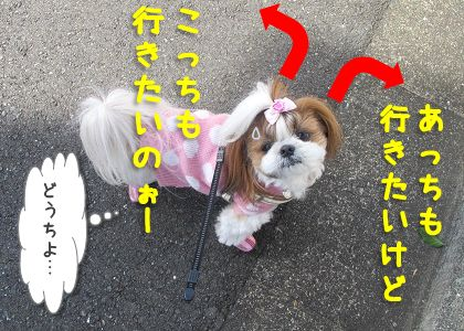 お散歩コースに悩めるシーズー犬まろん