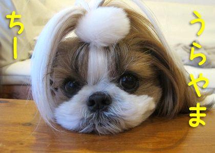 小ぶりなシーズー犬まろん