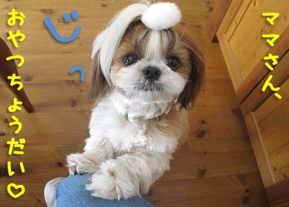 シーズー犬まろんの無垢な瞳