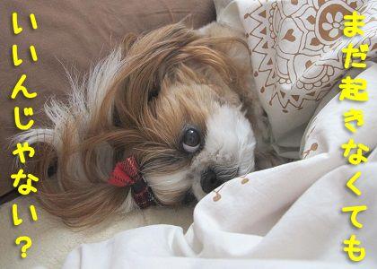 シーズー犬まろんももう少し寝ていたい