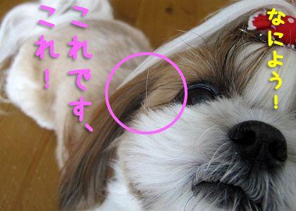 シーズー犬まろんのひげ拡大
