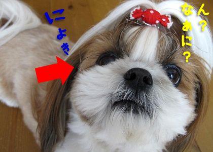 シーズー犬まろんのひげ