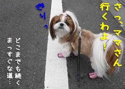 散歩にやる気のシーズー犬まろん
