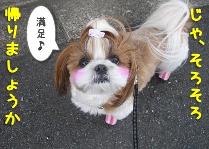 お散歩に満足したシーズー犬まろん