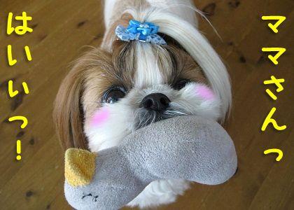 テキトーにおもちゃを持ってくるシーズー犬まろん