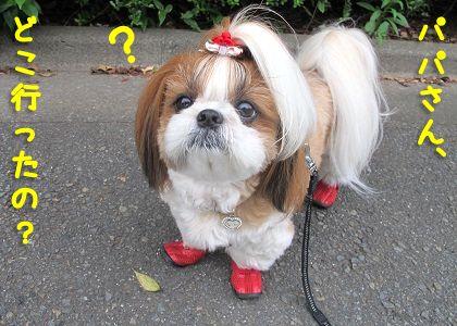 パパを探すシーズー犬まろん