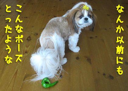 シーズー犬と万願寺