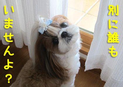 窓の外を確認するシーズー犬まろん
