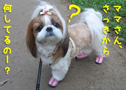 不思議な顔をするシーズー犬まろん