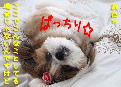 いつまでたっても寝ないシーズー犬まろん