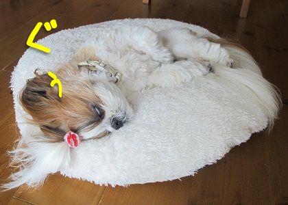 白目をむいて爆睡中のシーズー犬まろん