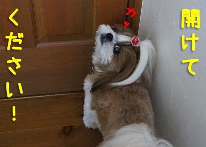 またしてもドアを開けろと騒ぐシーズー犬まろん