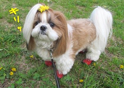 黄色いお花のリボンをつけたシーズー犬まろん