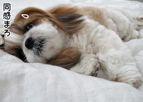 干した布団が暑くて眠れなかったシーズー犬まろん