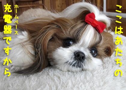 ルンバのようなシーズー犬まろん