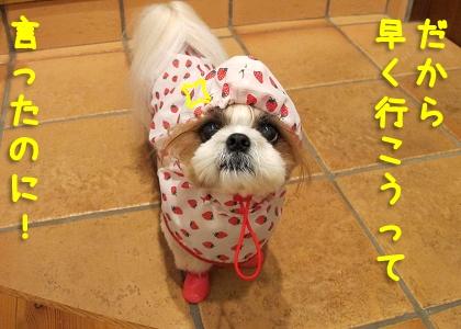 レインコートとレインブーツを装着したシーズー犬まろん