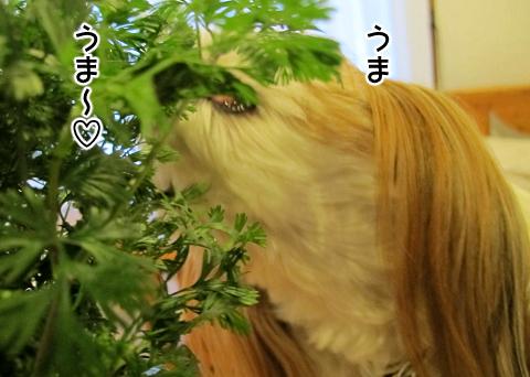 パクチーを食べるシーズー犬まろん
